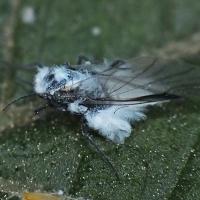 Phyllaphis fagi - Mszyca bukowo liściowa