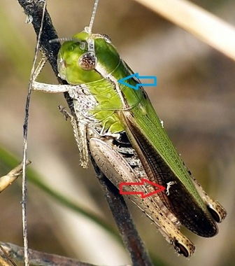 Niebieska strzałka wskazuje łukowato wygięte żebro przedplecza. Czerwona strzałka wskazuje białą plamę na polu środkowym