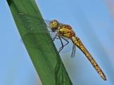 S.striolatum