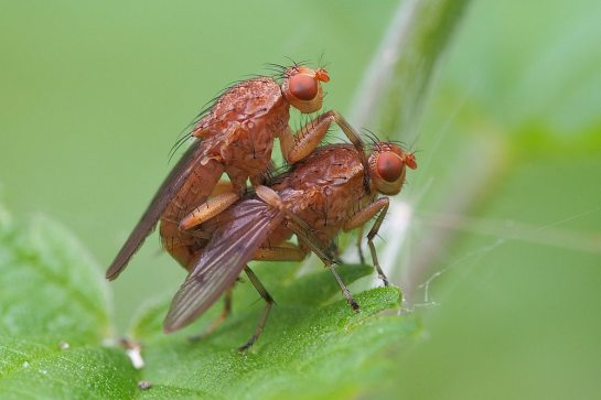 Suillia mating