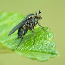 D.ungulatus
