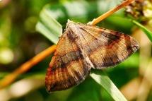 S.chenopodiata