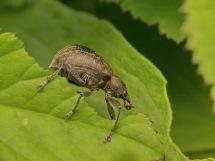 L.tesselatus