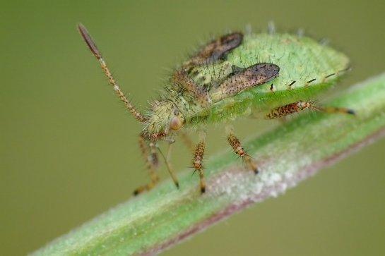 Corizus larvae