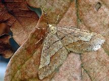 A.marginaria.