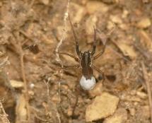A.albimana