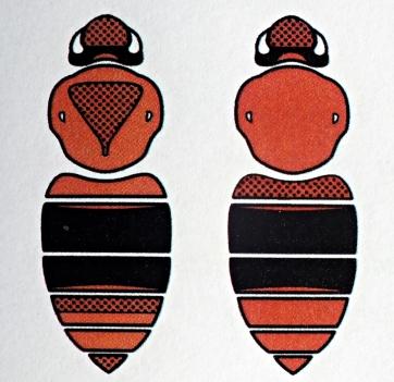 B.pascuorum - Samica