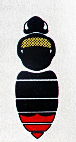 B. rupestris - Samica