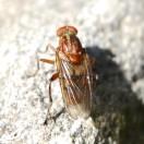 B.testacea