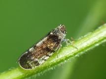 Cixius species.