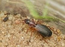 C.angularis