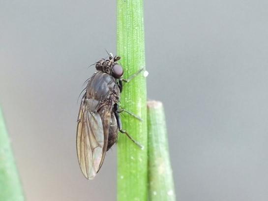 Dichaeta species