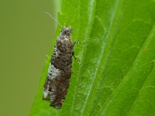 E.tetraquetrana