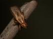 Euthycera fumigata