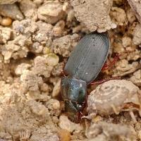 Harpalus rubripes - Dzier czerwononogi