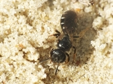 L.quadrinotatulum