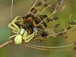Milichiidae + M.vatia