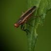 Pherbellia albocostata