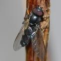 P.discimanus