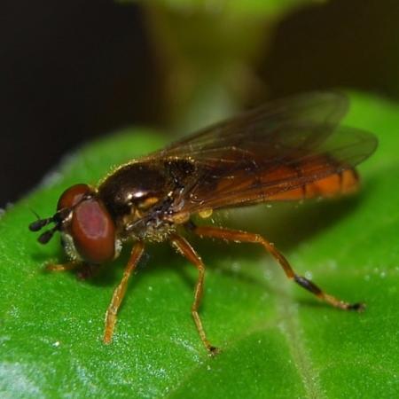 P.fulviventris