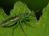 R.olivacea
