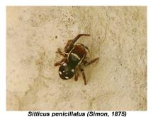 S.penicillatus