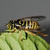 Spilomyia