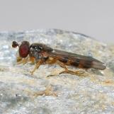P.scaevoides