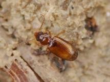 T.parvula
