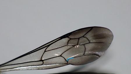 Przednie skrzydło - żyłka CuA1 wyraźnie łukowato wygięta przy granicy z 2 komórką dyskoidalną