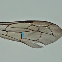 Auplopus carbonarius - Wolnica czarniawa