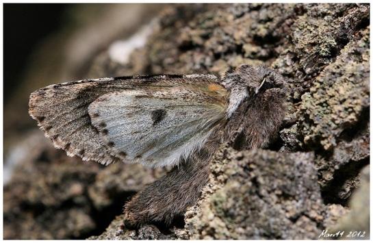 B.nubeculosa