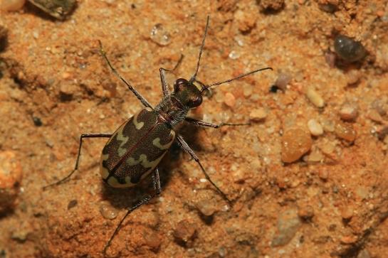 C. arenaria