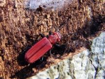 C.cinnaberinus