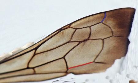 Przednie skrzydło - Komórka radialna R1 o łagodnym tylnym profilu ( kolor niebieski ). Żyłka Cu A1 prosta na całej długości