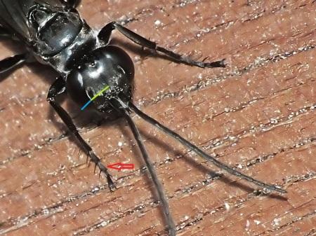 Czerwona strzałka wskazuje wydłużony 4 człon przedniej stopy. Szerokość oka nazywana CEW (Central Eye Width? - kolor niebieski) wyraźnie mniejsza od zaznaczonego na zielono odcinka twarzy zwanego FW ( Face Width? - kolor zielony)