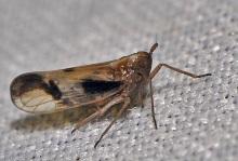 Delphax species