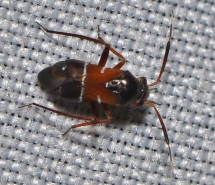P.cinnamopterus