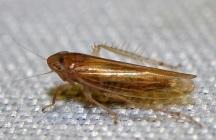 C.frontalis