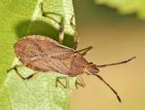 C.lividus