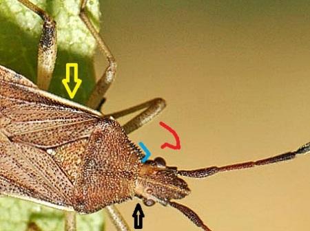 Czarna strzałka wskazuje ciemną linię koło oka. Żółta strzałka wskazuje jasne krawędzie corium. Niebieska linia symuluje profil przedniobocznego kątu przedplecza - czerwona linia imituje profil u Ceraleptus gracilicornis