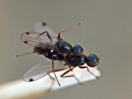 S. punctum mating