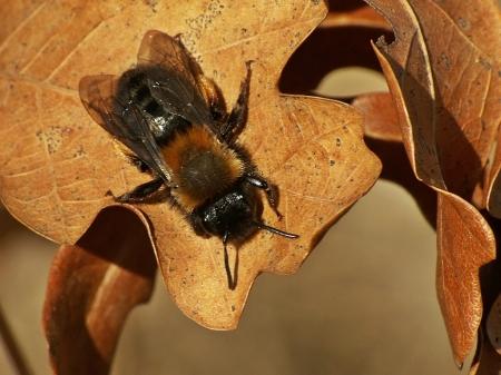A.clarkella