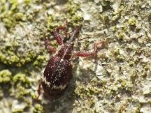 A.undulatus