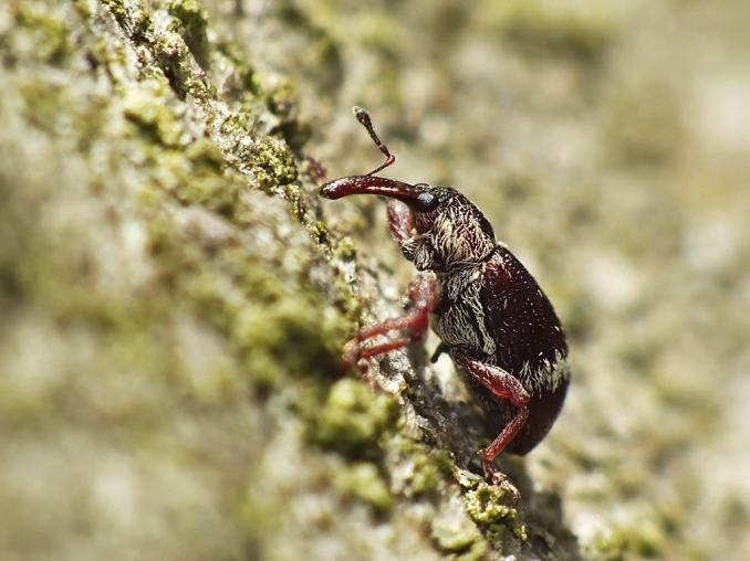 F.rectirostris