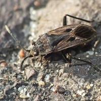 Rhyparochromus pini - Brudziec sosnowy
