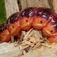 Cossus cossus - Trociniarka czerwica