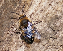 M.albifrons