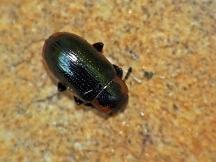 P.marginella