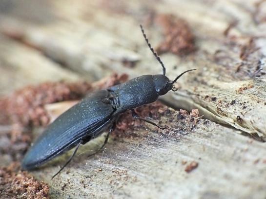 E.nigerrimus